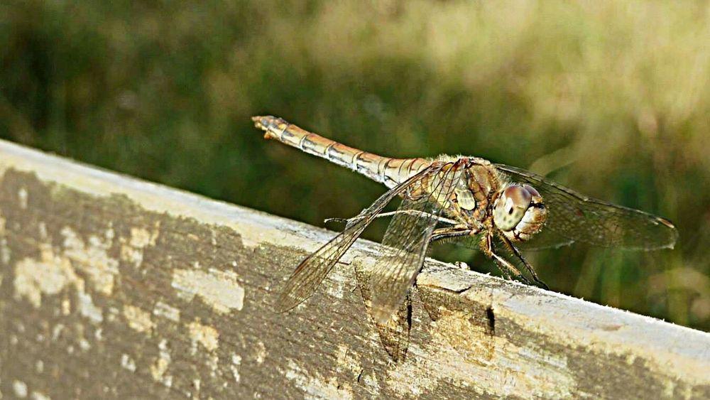 Dragonfly National Trust Wicken Fen