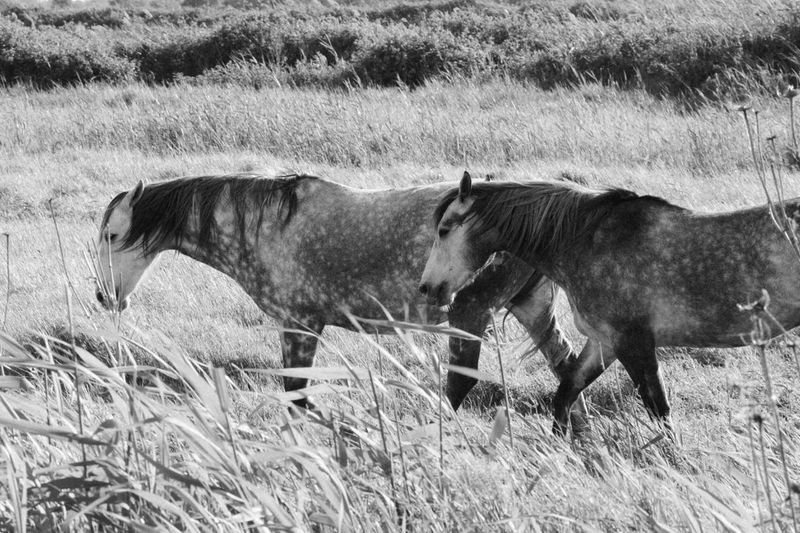 horses in nature. Grass Nikon Animals Animal Themes Nikonphotography Lifestyles Landscape Nature Nikonphotographer Horse Horses Horse Photography  Horse Life Blackandwhite Field Cow Livestock British Culture