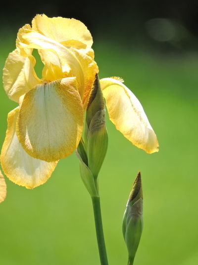 Iris Beauty In Nature Close-up Day Flower Flower Head Flowering Plant Focus On Foreground Fragility Freshness Green Color Growth Inflorescence Iris - Plant Nature No People Outdoors Petal Plant Plant Stem Sepal Vulnerability  Wilted Plant Yellow