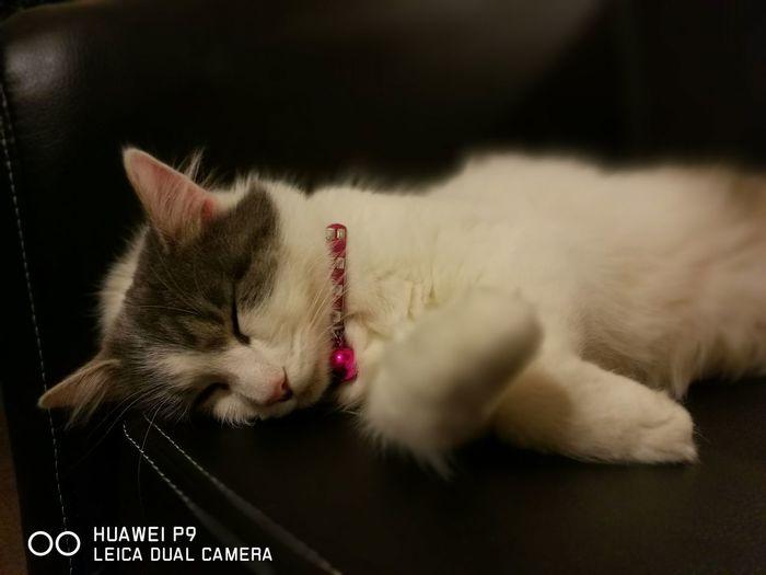 La Charlotte. Domestic Cat Pets Domestic Animals Feline One Animal Animal Animal Themes Animal Hair Indoors  Sleeping No People Kitten Close-up