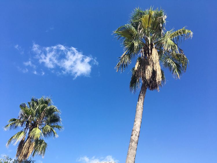 Two Palms Palm Palmtree Palm Tree Holiday View  Travel Destinations Summer Feelings  Summer Good Weather Sunny Blue Sky