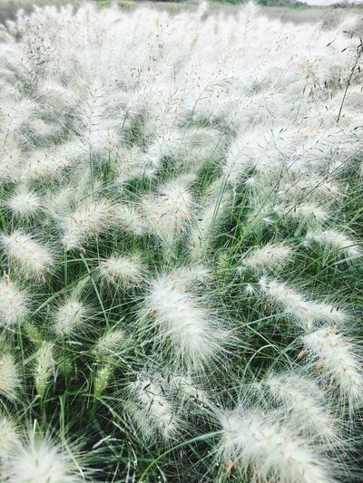 Growth Nature Plant Field Backgrounds Full Frame Beauty In Nature Day Outdoors No People Grass Tranquility Green Color Uncultivated Close-up Freshness Fountain Grass