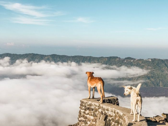 Dogs Standing On Retaining Wall Against Mountain