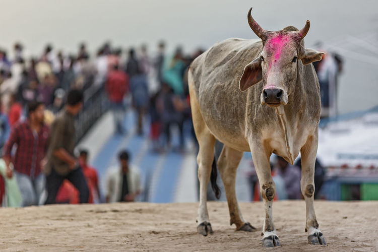 Portrait of cow standing on street against sky