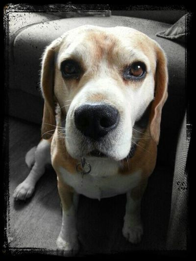 Dog Beagle Beautiful Animals  EyeEm Animal Lover