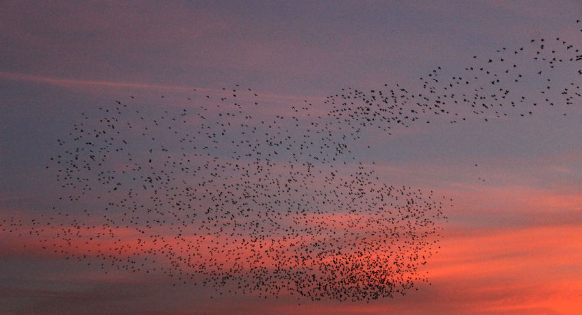 Animal Themes Animals In The Wild Beauty In Nature Bird Day Flock Of Birds Flying Large Group Of Animals Migrating Murmuration Nature No People Silhouette Sky Sunset