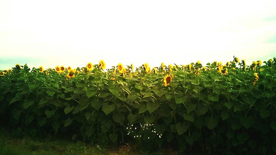Floarea Soarelui la Dulcesti...Constanta..Romania...