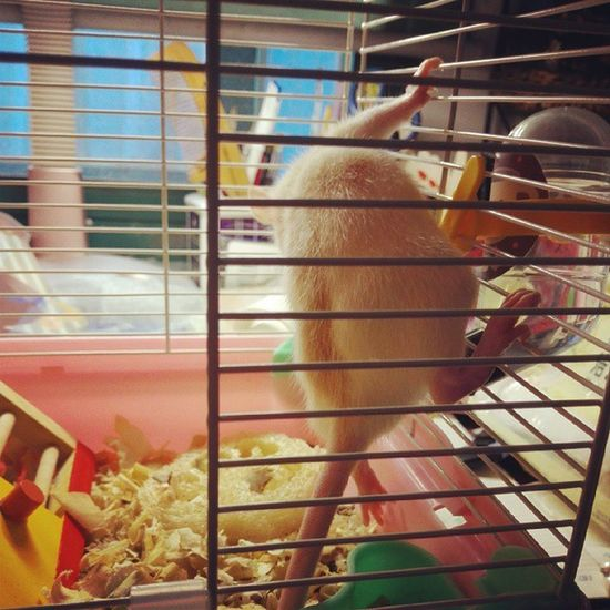 Morning FancyRat