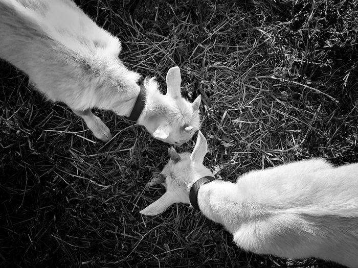 Goats 2 No