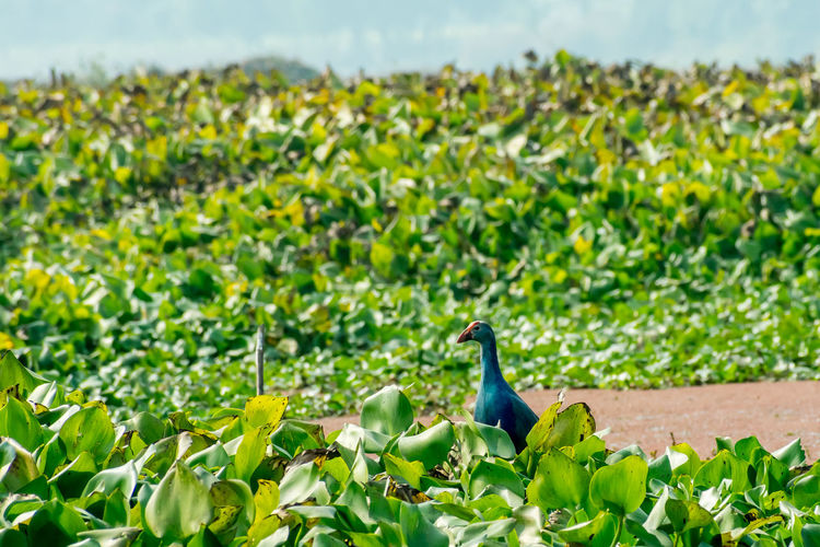 Closeup of Moorhen or swamp hen, a chicken-sized bird collecting food around the lake field with Flowering Water Hyacinth (Eichhornia crassipes) on the pond. Nal Sarovar Bird Sanctuary, Gujarat India South Island New Zealand Landscape - Scenery Bird Watching Dove - Bird Branch - Plant Part Beauty In Nature Songbird  Environment Crane - Bird Wetland Symbols Of Peace Tree Hummingbird Springtime Scenics - Nature Remote Location Tranquil Scene Animals In The Wild Animal Migration Travel Destinations Multi Colored Bharatpur Costa Rica Brazil Tropical Rainforest Estuary Reed - Grass Family Turkey - Middle East Fishing Summer German North Sea Region Coastal Feature Famous Place Lush Foliage Aquatic Organism Wilderness Area Sunny Weather Cloud - Sky National Park Peninsula Danube River Duck - Bird Egret Ibis Heron Stork Snipe Darter Lapwing Cormorant