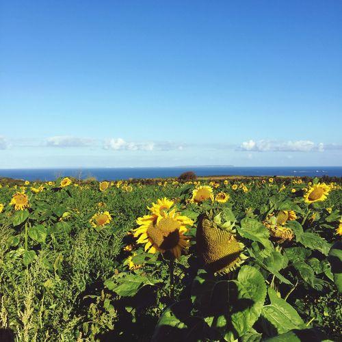 Jersey North Coast sunflowers First Eyeem Photo