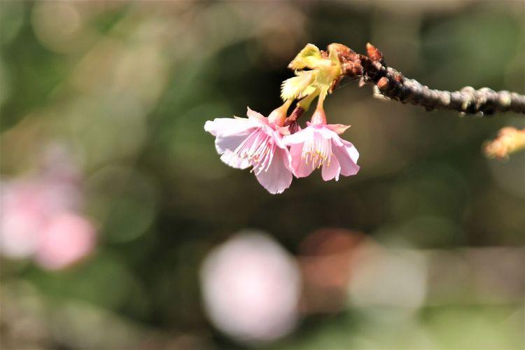 Cherry Blossoms Japan Sakura Enoshima Flower Flower Head Kanagawa Outdoors