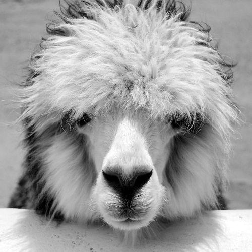 Alpaca del norte de Chile First Eyeem Photo Blackandwhite Animal Themes