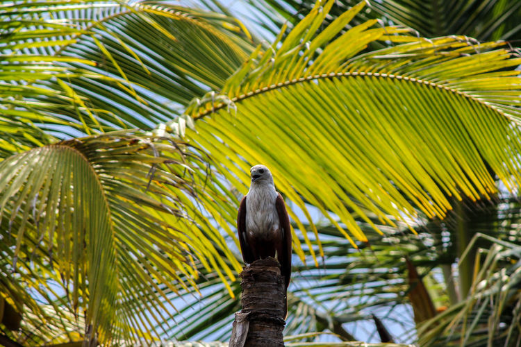 Beautiful raptor- Brahminy Kite. Animal Wildlife Bird Tree Palm Tree Green Color Nature Raptor Kite Brahminy Kite Habitat
