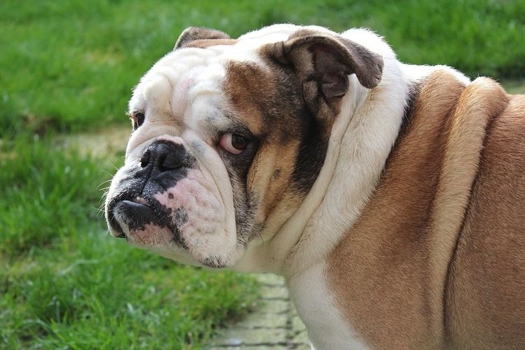 EyeEm Selects English Bulldog Dog Dogs Dog Love Dogs Of EyeEm Dogslife Dog❤ Dogoftheday EnglishBulldog Englishbulldogs