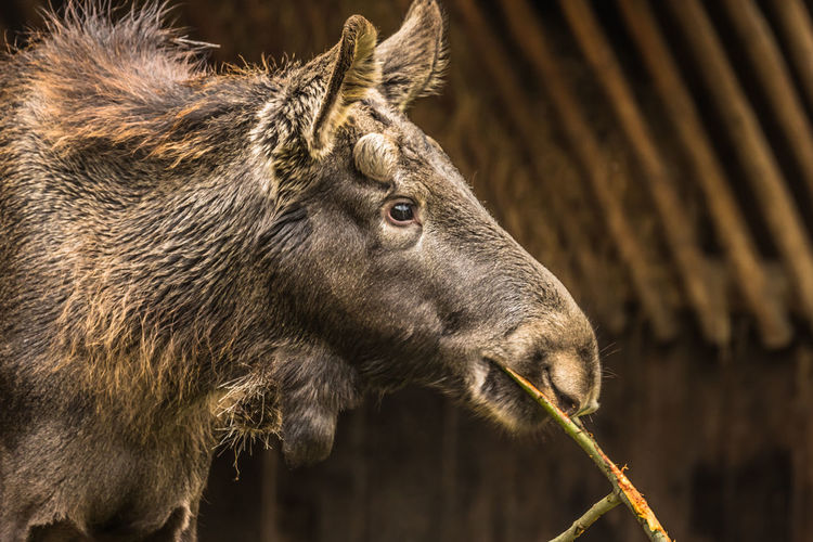 Profile view of moose eating plant outdoors