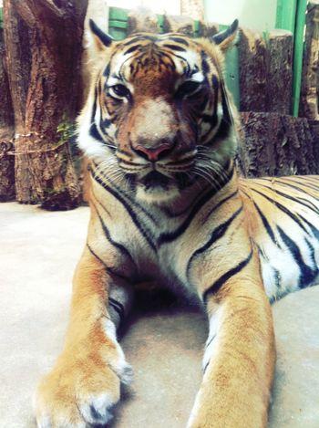 tiger at ZOO Praha | Prague ZOO Tiger