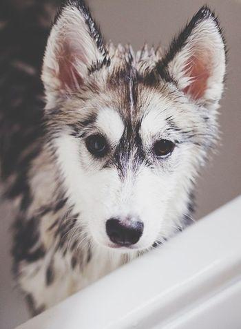 Husky IWant Dog