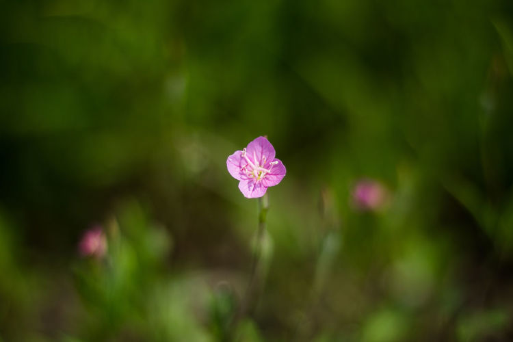 The little beauty Beauty In Nature Blooming Bokeh Close-up Flora Floral Flower Flowers Grass Green Little Nature Nature No People No Person Outdoor Outdoors Pink Color Pretty Small Violet
