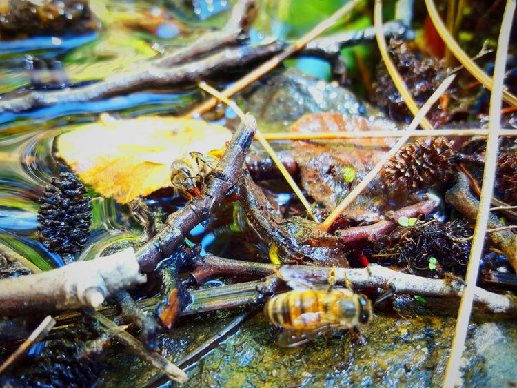 Bees Get Their Drink On At The Creek Bees Insects  Macro Close-up Nature Outdoors Rivers Creekside Exploring Perspective ForTheLoveOfPhotography From My Point Of View Eyeemphotography EyeEm Eye4photography  Bee 🐝 Eyemphotography Bright Colors