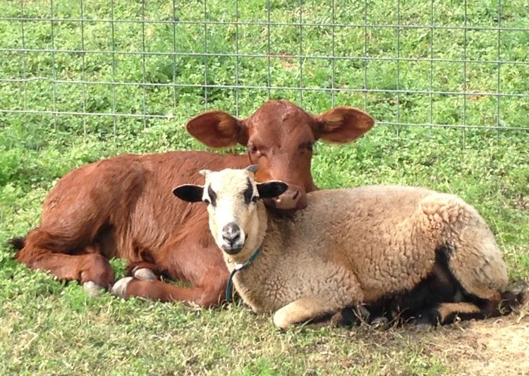 Livestock Calf