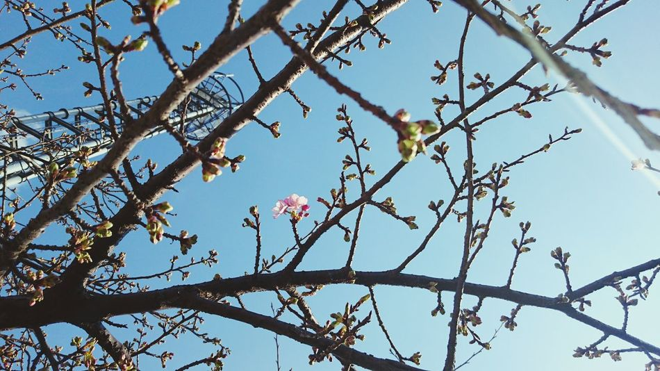 Cherry Blossoms Blooming Spring Flowers Japan Sakura No People Beauty In Nature Tree Pink Flower Blue Sky Botany Buds XPERIA Xperia Z4 Showcase: February 河津桜 Japan Photography Pastel Power Nature's Diversities Ultimate Japan Fine Art Photography Sky