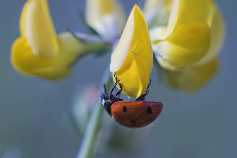 Close-up of ladybug on yellow flower