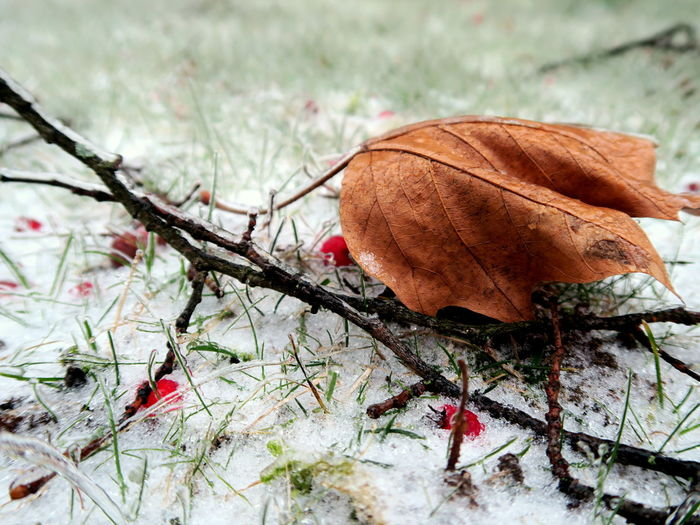 Leaves in the glazing grass Bare Tree Beauty In Nature Branch Branches And Leaves Close-up Cold Temperature Day Dried Plant Frozen Frozen Leaf Frozen Nature Leaf Nature No People Outdoors Plant Snow Snow ❄ Still Life Tree Winter Winter Leaves