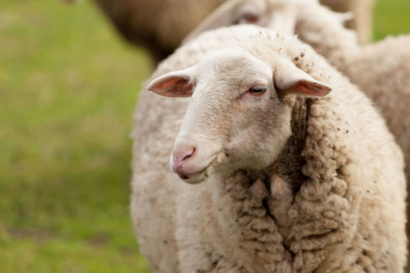 Close-up of a sheep on a field