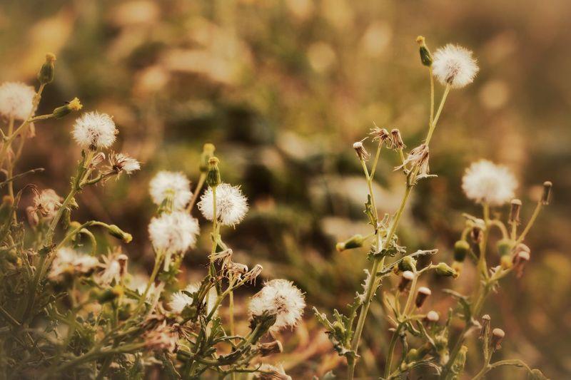 🌟DER SOMMER NIMMT ABSCHIED🌟 Müde durchschreitet der Sommer noch einmal den Garten. Ein Abschiedsgang – erschöpft lächeln ihm die letzten Sommerblumen entgegen. Ja, er weiß, sie haben alles gegeben. Jetzt, kurz vor dem Ende, ist ihre Kraft aufgebraucht. Er schaut sich noch einmal sorgfältig um: die abgeernteten Beete, die letzten Tomaten und Kürbisse, die prallen, leuchtenden Früchte an Baum und Strauch, alles Ergebnisse seiner Arbeit. Zufrieden kann er nun das Zepter dem Herbst übergeben. (Annegret Kronenberg) Autumn Beauty In Nature Bye Bye Summer Dandelion Collection Dandelionfluff Dandelions Every Flower Is A Soul EyeEm Nature Collection For My Friends That Connect Forever Love❤ Good Bye My Garden Is A Wonderland Nature Untamed Heart Weeds Are Beautiful Too Wildflower Wildflowers