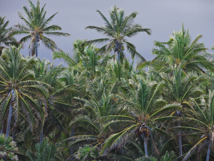 Agriculture Beauty In Nature Close-up Day Growth Landscape Leaf Nature No People Outdoors Palm Tree Plant Sky Tree
