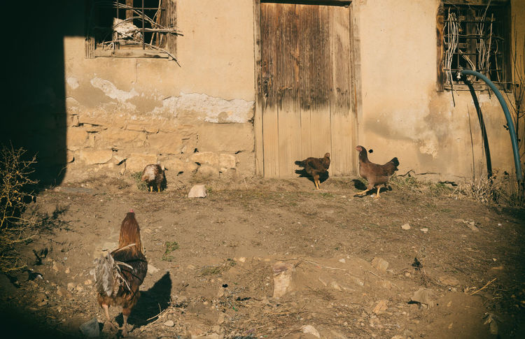 Village Chickens Animal Animal Themes Architecture Bird Built Structure Chicken Dirt Road Domestic Animals Feathers Food Hen Hen Pecked Hens And Chickens Mammal Outdoors Peck Pets Plump Protien Sunlight Village Village House Village Life