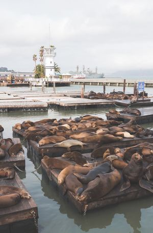 san fran sea lions Boats Weather Ocean Sea Sanfran USA Sanfrancisco Dock Water Large Group Of Animals Architecture Building Exterior Sea Day Sky Outdoors Animal Themes Harbor Nature Mammal No People