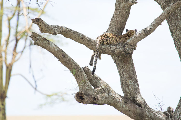 Tanzania Tree Wild Animal Africa Afrika Animals Leopard Leopard Print Nature No People Safari Serengeti Tansnia Wildlife