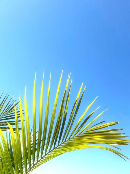 Tropical vibes Blue Clear Sky Nature Palm Leaf Low Angle View Growth Palm Tree Beauty In Nature Outdoors Day No People Frond Close-up Sky Freshness Tranquility