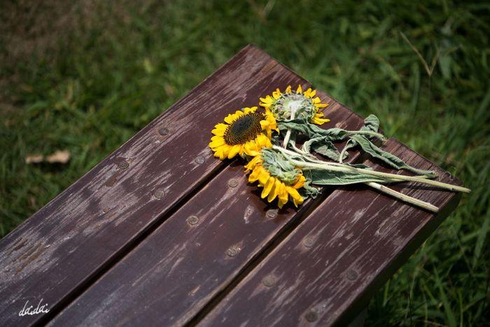 夏の終わりに D750 Fukuokadeeps のこのしまアイランドパーク 能古島 Lightroom Edit 花 Flower Flower Head Flowerporn Summer 向日葵 Sunflower No People Day