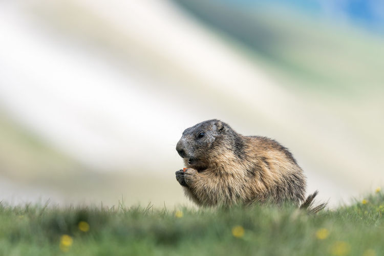 Marmot Alpen Marmot At The Grossglockner Marmots Murmeltier Alps Animal Themes Animal Wildlife Animals In The Wild Close-up Day Grass Heiligenblut Hochalpenstraße Mammal Marmot Murmeltiere Nature No People One Animal Outdoors