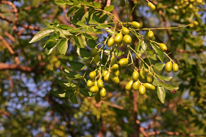 Neem tree, young shoot use as vegetable and seed has a substance act as insecticide Indian Insecticide Nature Neem Fruits Branch Growth Leaf Nature Neem Tree Outdoors Plant Plant Part Sea Tree Vegetable