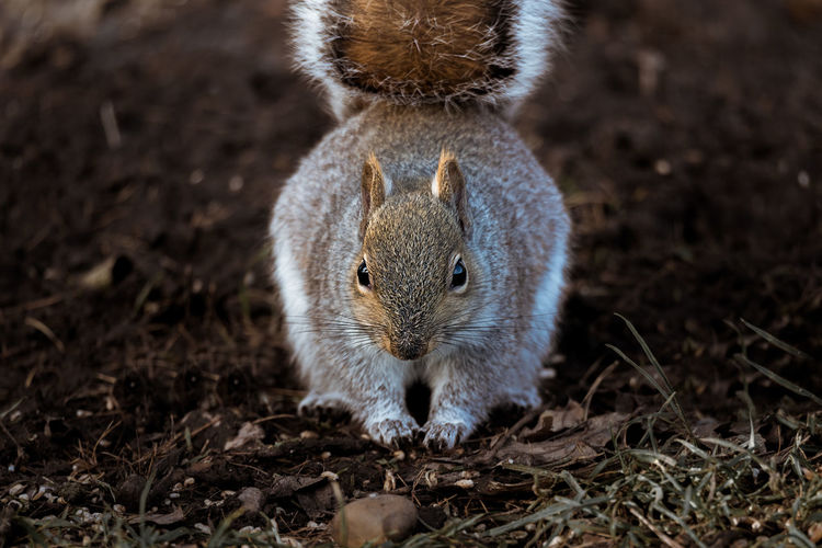 Close up of a common Eastern Gray Squirrel feeding on a forest floor. Looking At Camera Squirrel Animal Themes Animals In The Wild Bushy Close-up Day Eastern Grey Squirrel Field Foraging Forest Floor Gray Squirrel Grey Squirrel Mammal Nature One Animal Outdoors Up Close Wild