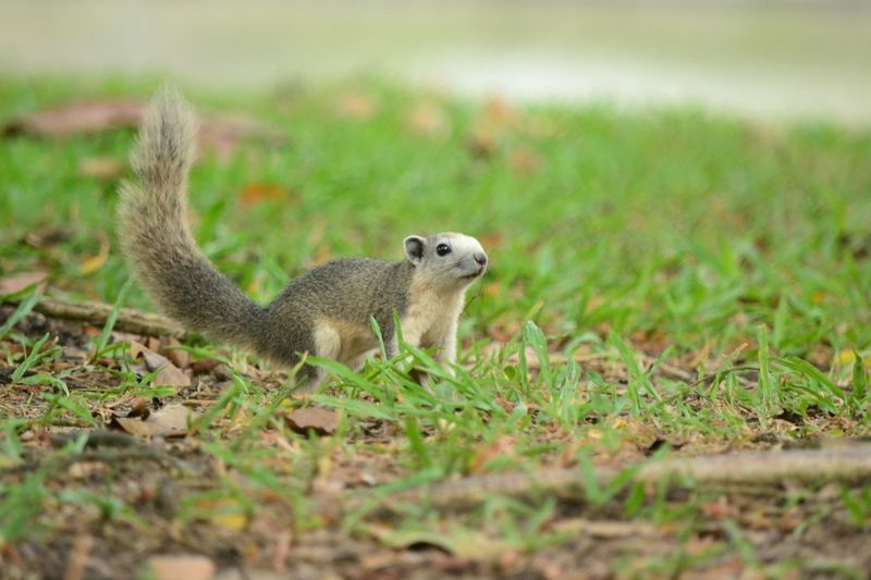Side view of squirrel on land