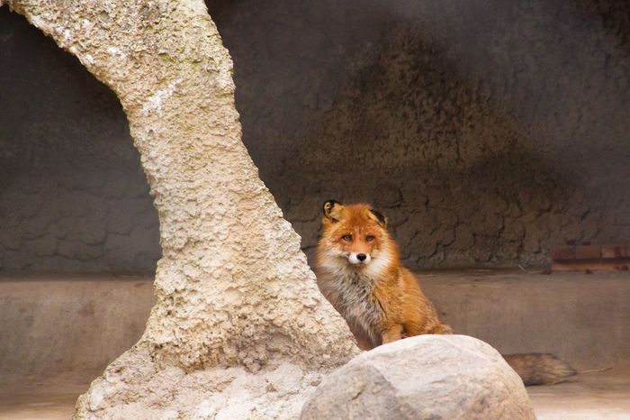 One Animal Animal Themes Animals In The Wild Portrait Rock - Object Looking At Camera Wall - Building Feature Mammal Wildlife Stone Wall Zoology Day Zoo Stone Material