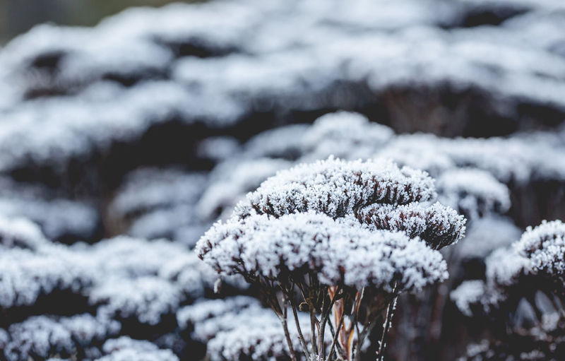 Shrubs covered of frost in morning light. Saturated matt tones Beauty In Nature Blurred Background Bush Close-up Cold Temperature Cover Day Dull Flower Forehead Focus Fragility Freeze Freshness Frozen Full Frame Matt Nature Outdoors Saturated Snow Weather White Color Winter