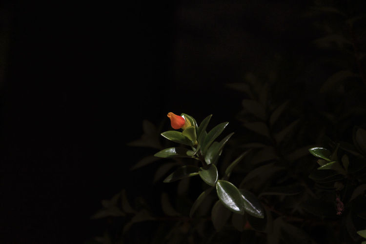 Close-up of bud on plant against black background