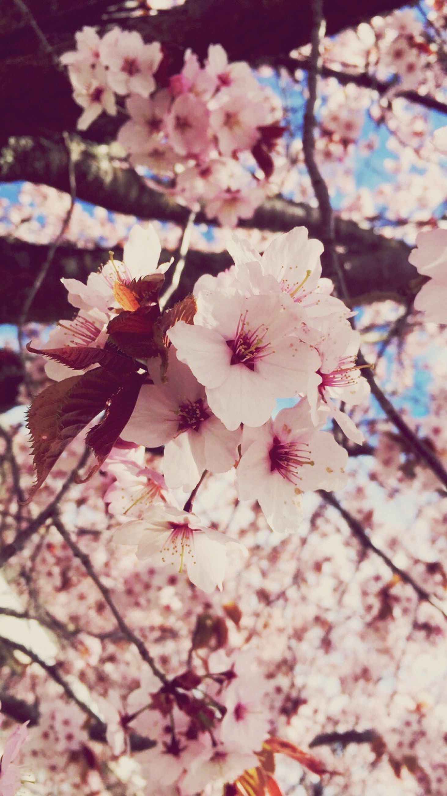 flower, freshness, branch, fragility, cherry blossom, tree, growth, beauty in nature, low angle view, cherry tree, blossom, petal, pink color, nature, springtime, in bloom, blooming, fruit tree, twig, close-up