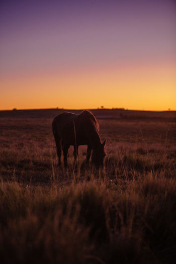 Horse grazing in field during sunset