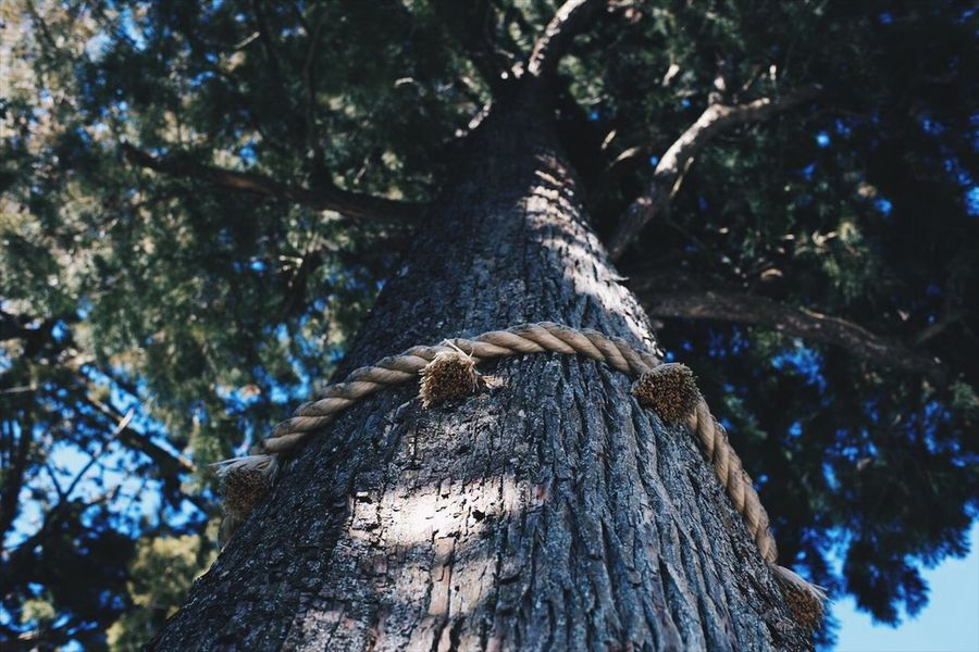 japan EyeEm EyeEm Best Shots The Week on EyeEm Planar50/1.4 Zeiss Carl Zeiss Canon Tree Saitama Japan Tree Tree Trunk Low Angle View Rope Branch Day EyeEmNewHere