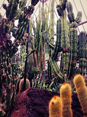 仙人掌 Cactus サボテン