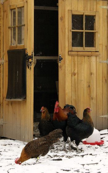 Animals In Winter Rural Scenes Winter Animal Themes Chicken Stable Cold Temperature Domestic Animals Outdoors Rooster