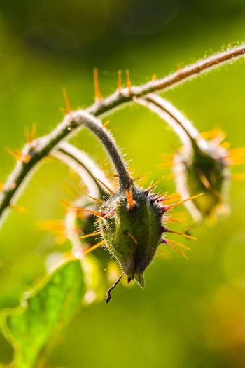 École nationale de paysage, Potager du roi Close-up Macro Photography Morelle De Balbis Morelle à Feuille De Sisymbrium No People Solanaceae Solanum Sisymbriifolium Tomate Litchi