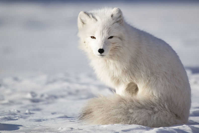 An arctic fox, enjoying the sunshine Arctic Fox Snow Winter Cold Temperature Animal Mammal One Animal White Color Nature Polar Climate No People Sitting Animal Hair Frozen Animal Wildlife Fox Svalbard  Arctic